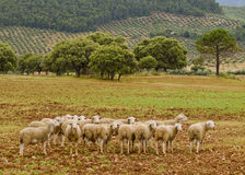Sheeps group in nature Royalty Free Stock Image