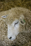 Sheeps Head. A sheep laying down on a hot day Royalty Free Stock Photo