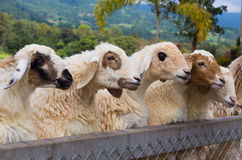 Sheeps head looking Royalty Free Stock Image