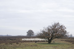 Sheeps on the heather. Sheeps with dog on the heather Stock Photography