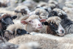Sheeps Royalty Free Stock Images