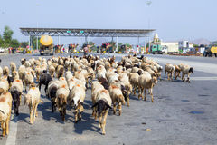 Sheeps in a herd crossing Royalty Free Stock Photos