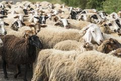 Sheeps herd Royalty Free Stock Photography