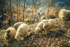 Sheeps in het hout Royalty-vrije Stock Foto's