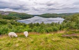 Sheeps in het Landschap van Noorwegen met Meer en Bezinning Bewolkte blauwe hemel Royalty-vrije Stock Afbeeldingen