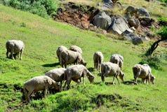 Sheeps het weiden Stock Afbeelding