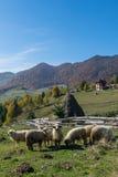 Sheeps het weiden in een traditioneel Roemeens bergdorp Royalty-vrije Stock Afbeeldingen