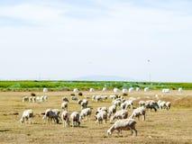 Sheeps het weiden op een gebied op zomer in Spanje Stock Fotografie