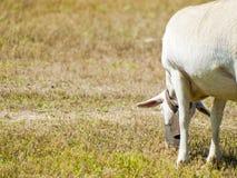 Sheeps het weiden op een gebied op zomer in Spanje Stock Afbeeldingen