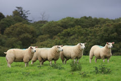 Sheeps in highland royalty free stock photo