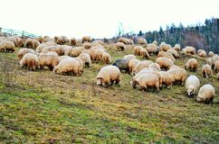 Sheeps on the hill. Flock of sheeps on the h of  Carpathian Mountains in Romania Stock Photography
