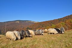 Sheeps on a hillside. Stock Photos