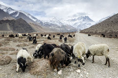 Sheeps in Himalaya Royalty Free Stock Photos