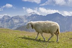 Sheeps in the Hohe Tauern mountains. Countless sheep spend the summer on the lush mountain meadows of the Hohe Tauern mountains Royalty Free Stock Image