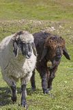 Sheeps in the Hohe Tauern mountains. Countless sheep spend the summer on the lush mountain meadows of the Hohe Tauern mountains Stock Photo
