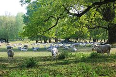 Sheeps and hundred years old oak trees royalty free stock photos