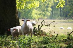 Sheeps and hundred years old oak trees royalty free stock images