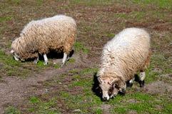 Sheeps i en äng Arkivfoton