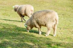 Sheeps i en äng Fotografering för Bildbyråer
