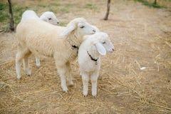 Sheeps i grapeyarden Royaltyfri Foto