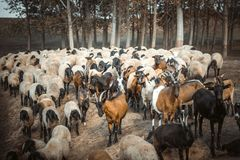 Sheeps i kózki Obrazy Royalty Free