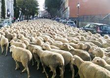 Sheeps i Madrid Arkivfoto