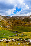 Sheeps i nationella berg parkerar Durmitor - Montenegro Royaltyfria Bilder
