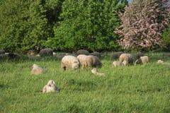 Sheeps i natur, på äng Bruka som är utomhus- arkivbilder