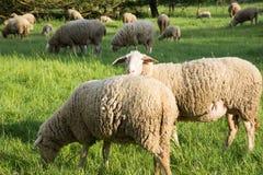 Sheeps i natur, på äng Bruka som är utomhus- arkivbild