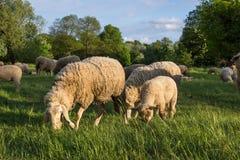 Sheeps i natur, på äng Bruka som är utomhus- fotografering för bildbyråer