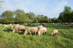Sheeps i natur, på äng Bruka som är utomhus- royaltyfri foto