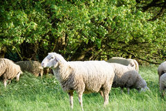 Sheeps i natur, på äng Bruka som är utomhus- royaltyfri fotografi