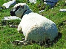 Sheeps i paśniki na tableland pasmach górskich Alviergruppe zdjęcia royalty free