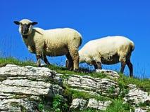 Sheeps i paśniki na tableland pasmach górskich Alviergruppe zdjęcie stock