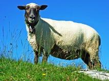 Sheeps i paśniki na tableland pasmach górskich Alviergruppe obraz stock