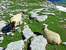 Sheeps i paśniki na tableland pasmach górskich Alviergruppe obraz royalty free