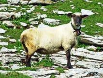 Sheeps i paśniki na tableland pasmach górskich Alviergruppe obrazy stock