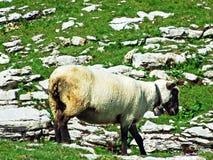 Sheeps i paśniki na tableland pasmach górskich Alviergruppe fotografia stock