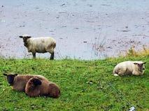 Sheeps i paśniki wzdłuż Jeziornego Klontalersee i w dolinie Klontal zdjęcie stock