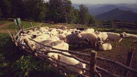 Sheeps i sheepfold Arkivfoton