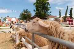 Sheeps i väntande på mat för fängelse royaltyfria bilder