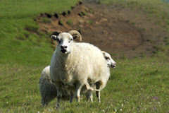 Sheeps at Iceland. Sheeps at the southern coast of Iceland Stock Photography