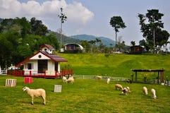 Sheeps im Ackerland, Thailand Lizenzfreies Stockbild