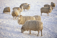 Sheeps im Winter Lizenzfreies Stockbild