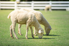 Free Sheeps In Green Grass Field. Stock Images - 72193374