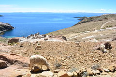 Sheeps at the Isla del Sol, in Titicaca Lake, Bolivia Stock Image