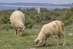 Sheeps in Istria. Undemanding sheep in Istria found on the limestone peninsula Kamenjak still grasses and fodder stock photo