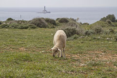 Sheeps in Istria. Undemanding sheep in Istria found on the limestone peninsula Kamenjak still grasses and fodder stock image