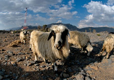 Sheeps in Jabal Shams Stock Photo