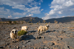 Sheeps in Jabal Shams Stock Image